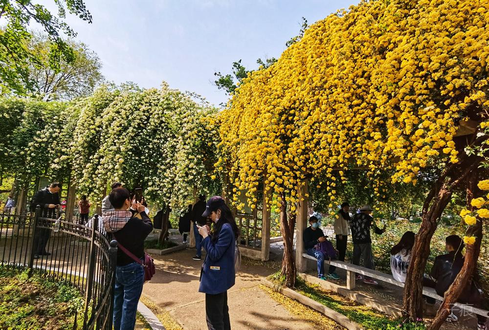 玄武湖公园月季园木香花